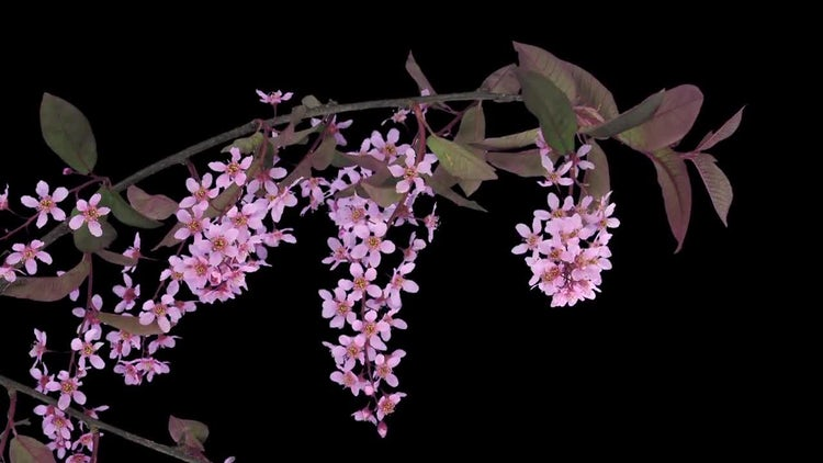 Blooming Bird Cherry Branch: Stock Video