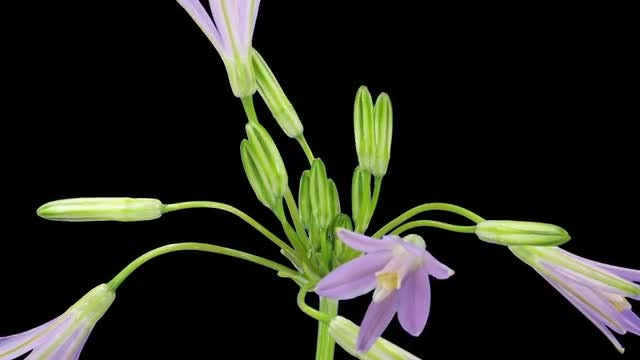 Brodiaea Flower Buds: Stock Video