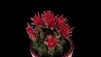 Blooming Red Cactus Buds: Stock Video