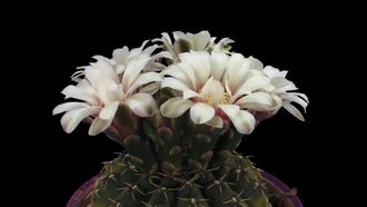 Opening White Cactus Flowers : Stock Video