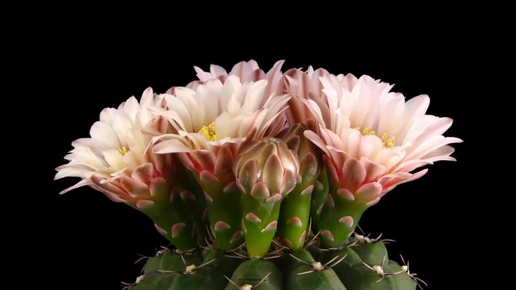 Pink Cactus Buds Blooming: Stock Video