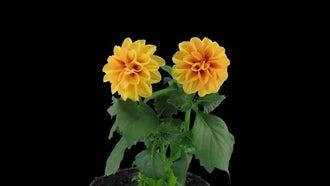 Two Orange Dahlia Flowers: Stock Video