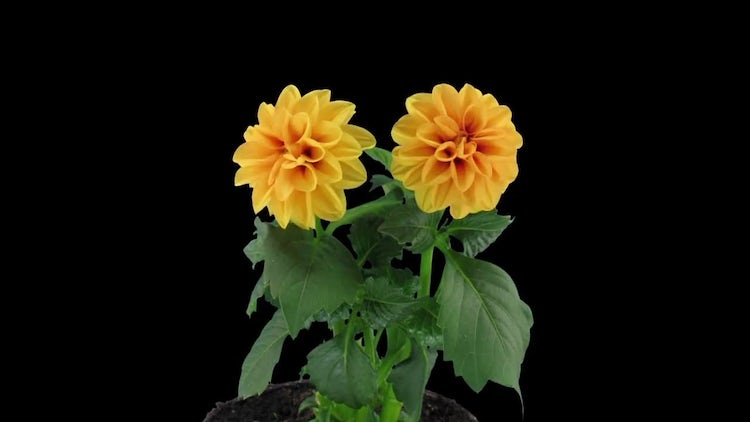 Two Orange Dahlia Flowers: Stock Video