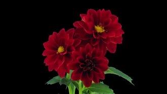 Red Dahlia Flowers Open: Stock Video