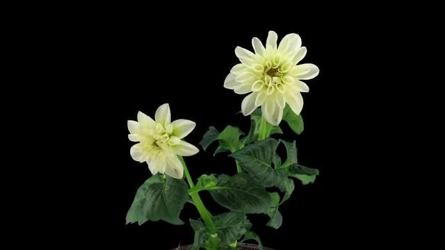 Two White Dahlia Flowers Open: Stock Video