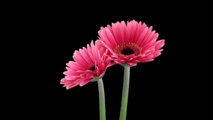 Two Pink Gerbera Flowers Open: Stock Video