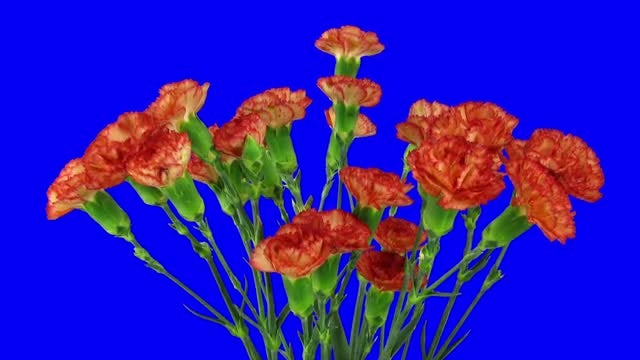 Opening of Red Dianthus Flowers: Stock Video