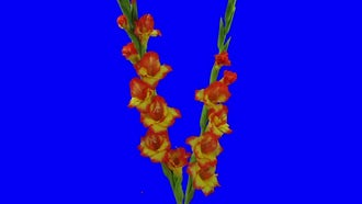 Yellow And Red Gladiola Flowers: Stock Video