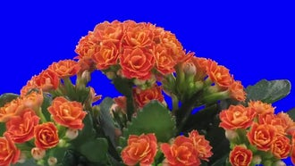 Orange Kalanchoe Flowers Open : Stock Video