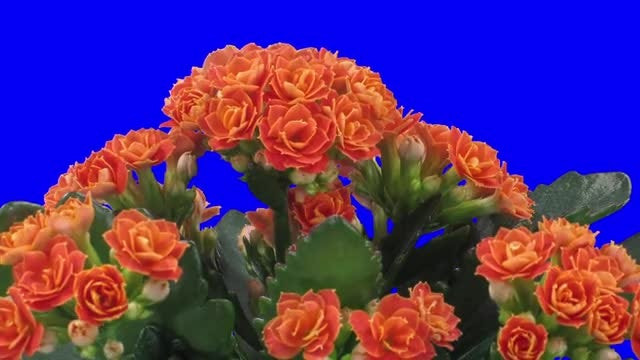 Orange Kalanchoe Flowers Open : Stock Video