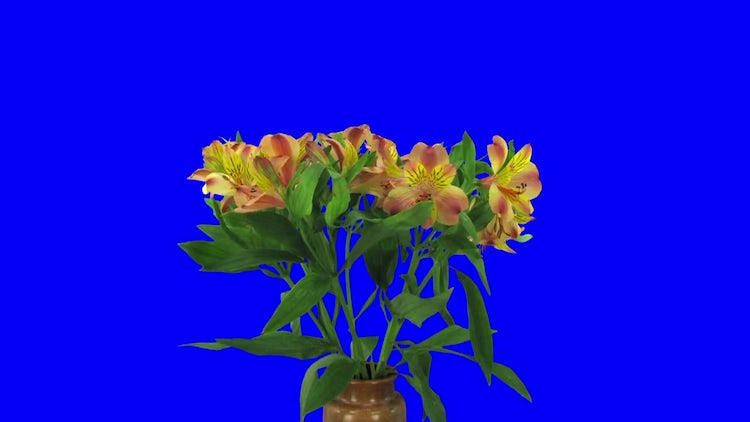 Yellow-Red Peruvian Lily : Stock Video