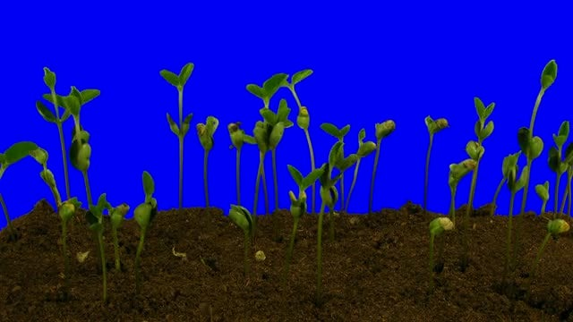 Growing Soy Beans: Stock Video