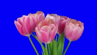 Opening Pink Tulips Bouquet: Stock Footage