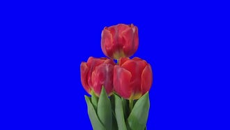 Three Red Tulips Open: Stock Footage