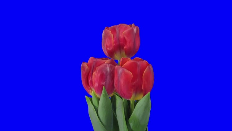 Three Red Tulips Open: Stock Video