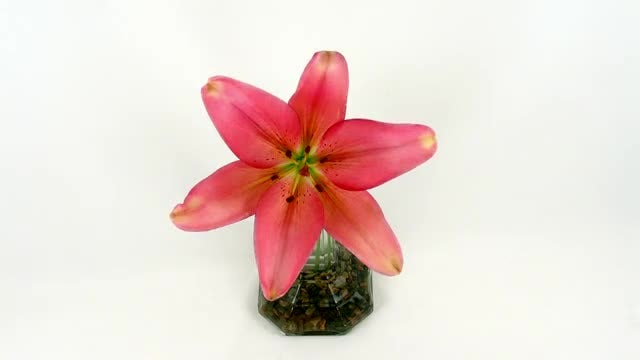 Star-shaped Pink Lily Opens : Stock Video