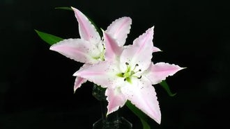 Two Pink Lilies Burst Open: Stock Video