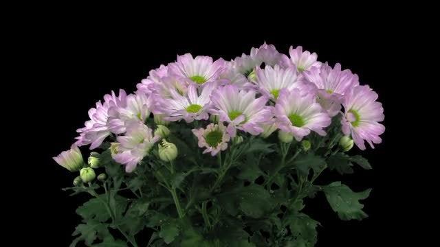 Opening Purple Chrysanthemum Buds: Stock Video