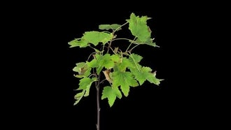 Drying White Currant Branch Leaves: Stock Video