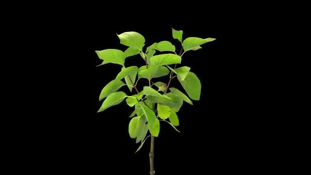 Drying Lilac Branch And Leaves: Stock Video