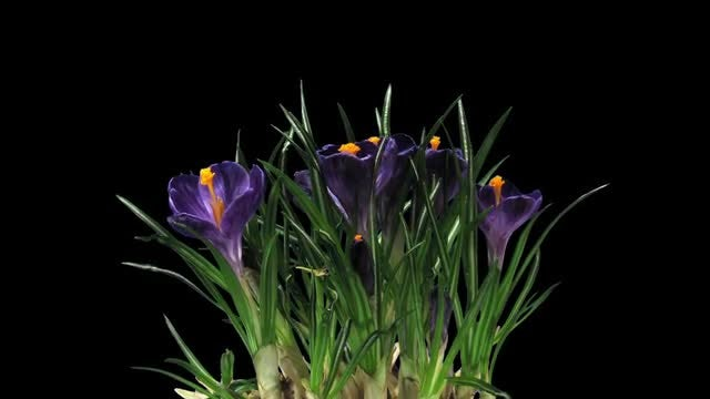 Purple Crocus Petals Open: Stock Video