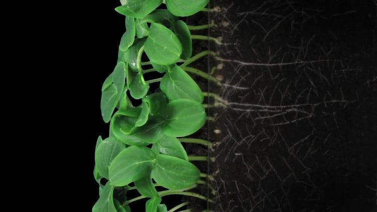 Germinating Cucumber Seeds: Stock Video