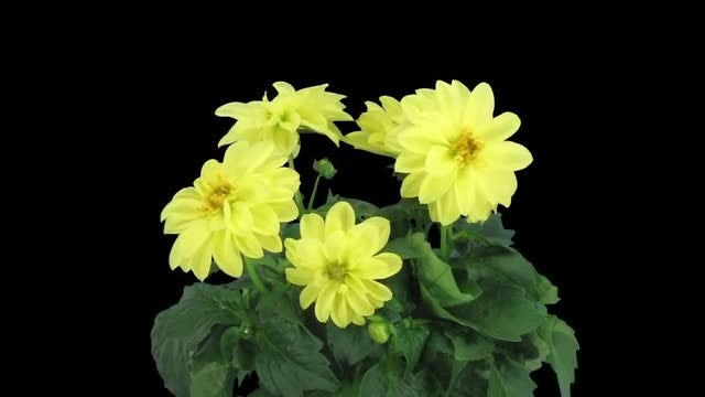 Yellow Dahlia Flowers In Pot: Stock Video
