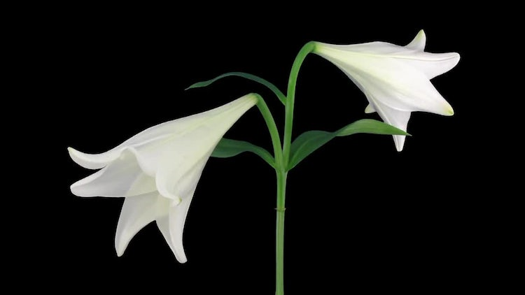 Opening Of White Easter Lily: Stock Video