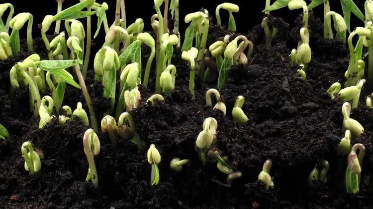 Germinating Mung Beans: Stock Video
