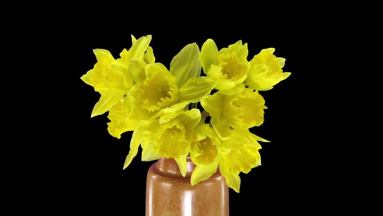 Opening Yellow Narcissus: Stock Video
