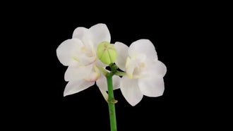 Opening White Orchid Flower: Stock Video
