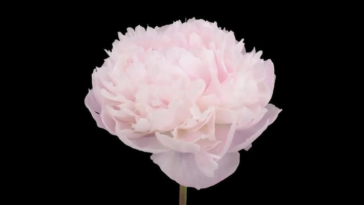 Opening Soft Pink Peony Flower: Stock Video