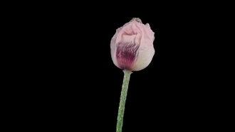 White Oriental Poppy Flower: Stock Video