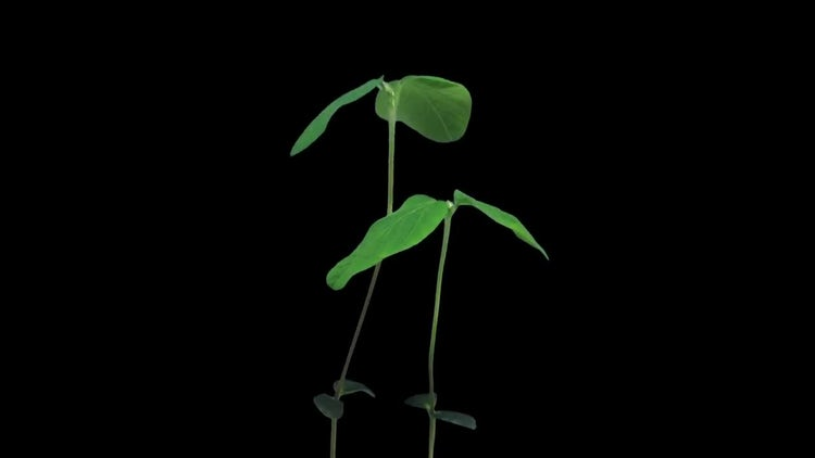 Soybean Plant Growing Tall: Stock Video