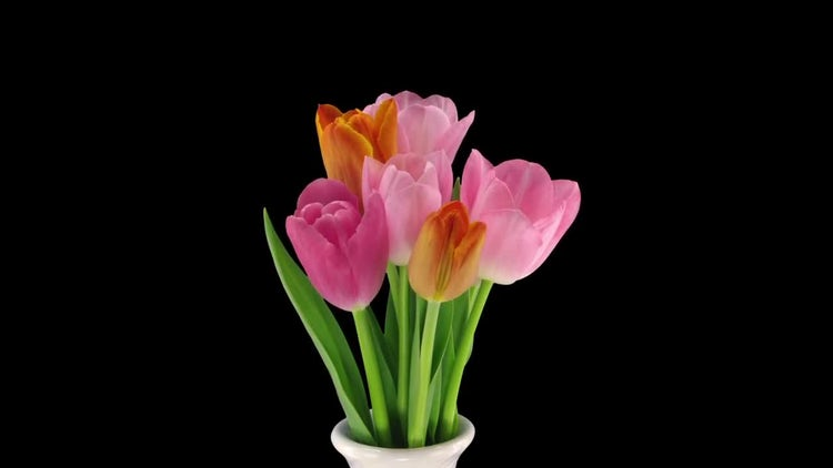Colorful Tulip Bouquet Grows: Stock Video