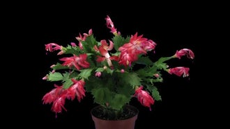 Life Cycle Of Christmas Cactus: Stock Video
