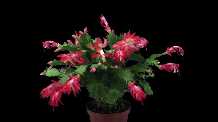 Life Cycle Of Christmas Cactus: Stock Video