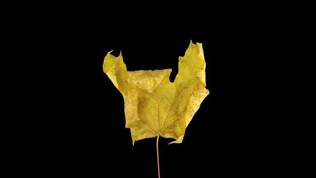 Drying Maple Leave In Autumn: Stock Video