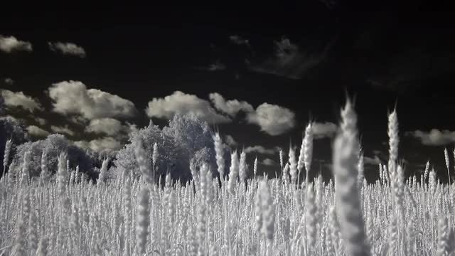 Infrared Barley Field: Stock Video