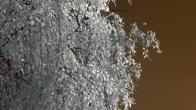 Infrared Flora: Birch Branches : Stock Video
