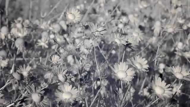 Infrared Flora: Chamomile Flowers: Stock Video
