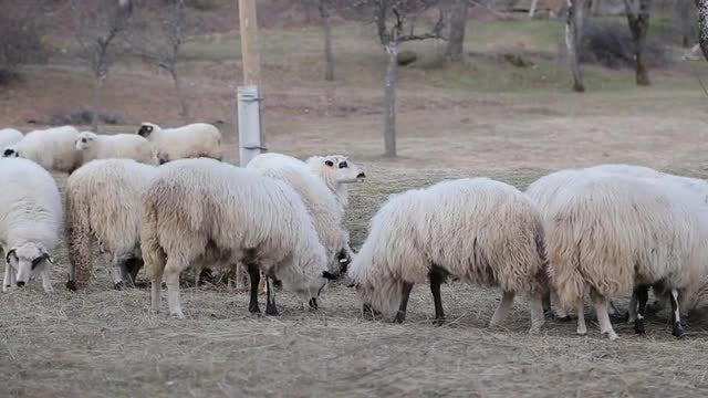 Sheep Feeding: Stock Video