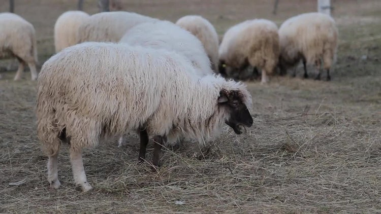 Sheep Eating Hay: Stock Video