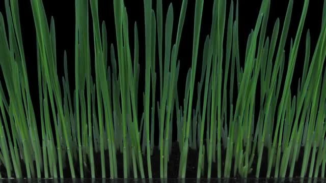 Germinating And Growing Barley Seeds: Stock Video