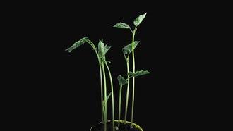Phototropism In Growing Bean Stalks: Stock Video