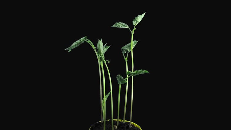 Phototropism In Growing Bean Stalks: Stock Video