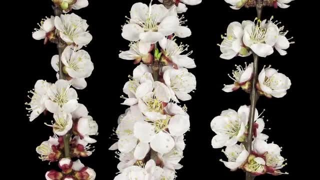Apricot Tree Branches Blooming: Stock Video