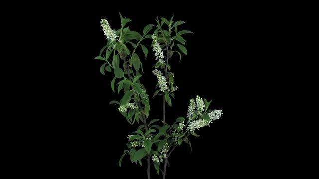 Blooming White Bird Cherry Branch: Stock Video