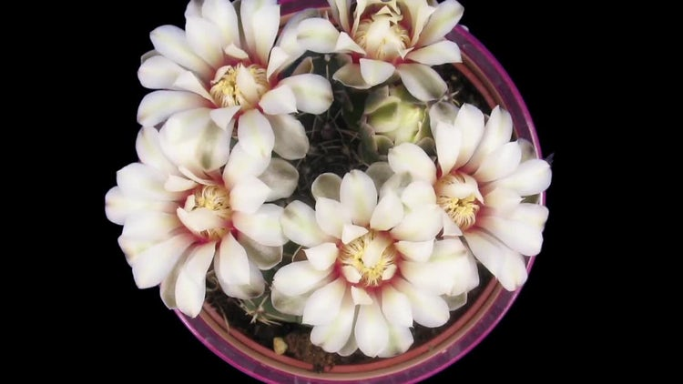 Blooming White Cactus Buds : Stock Video