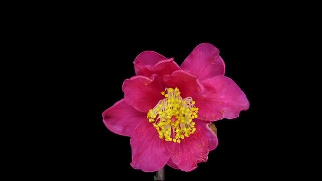 Dying Red Camellia Flower: Stock Video